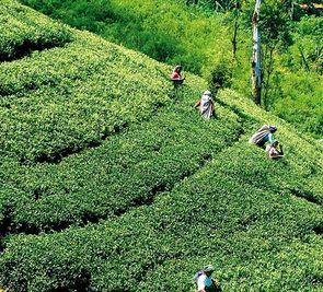 7+7: Sri Lanka - Smak herbaty z cynamonem